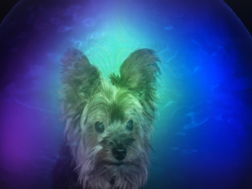 Chewy the Yorkie